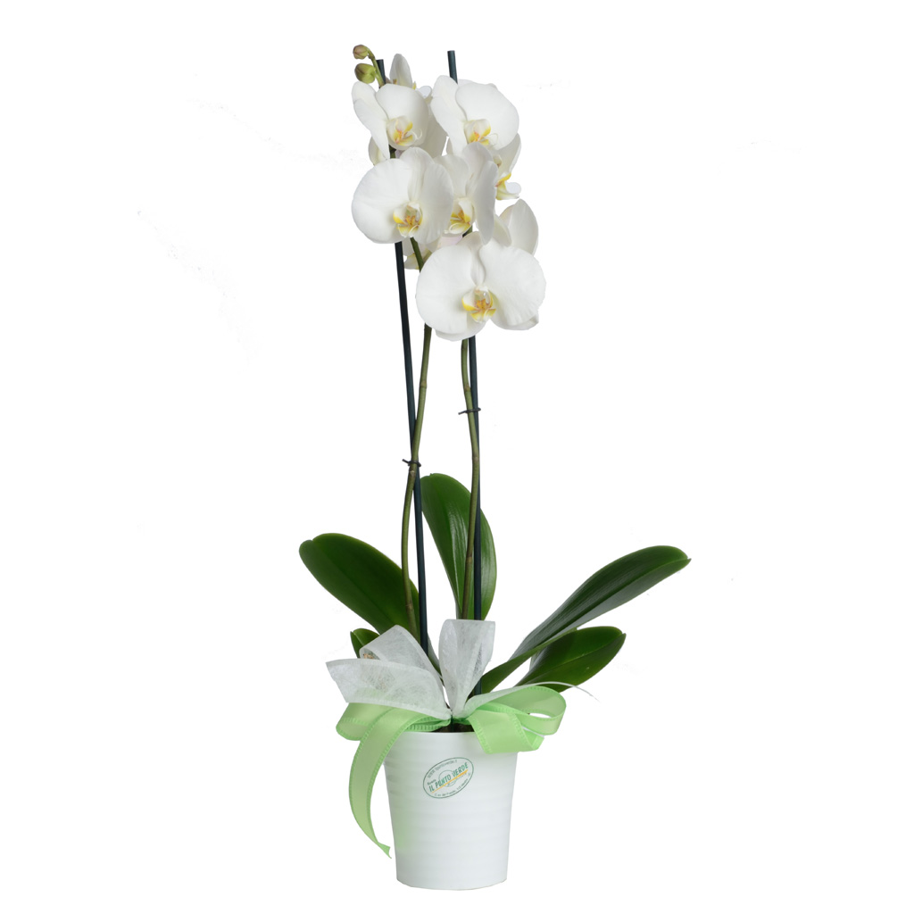 Pianta Phalaenopsis orchidea bianca