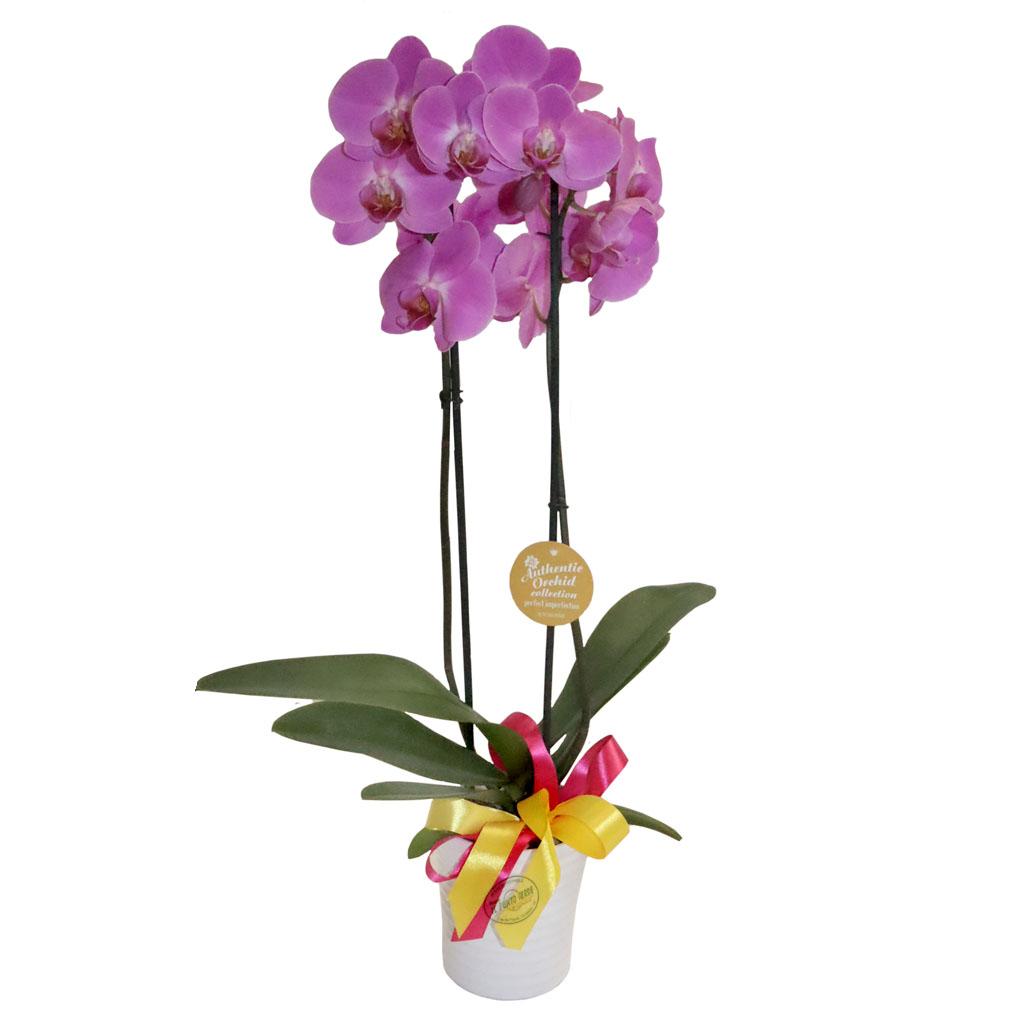 Pianta orchidea rosa