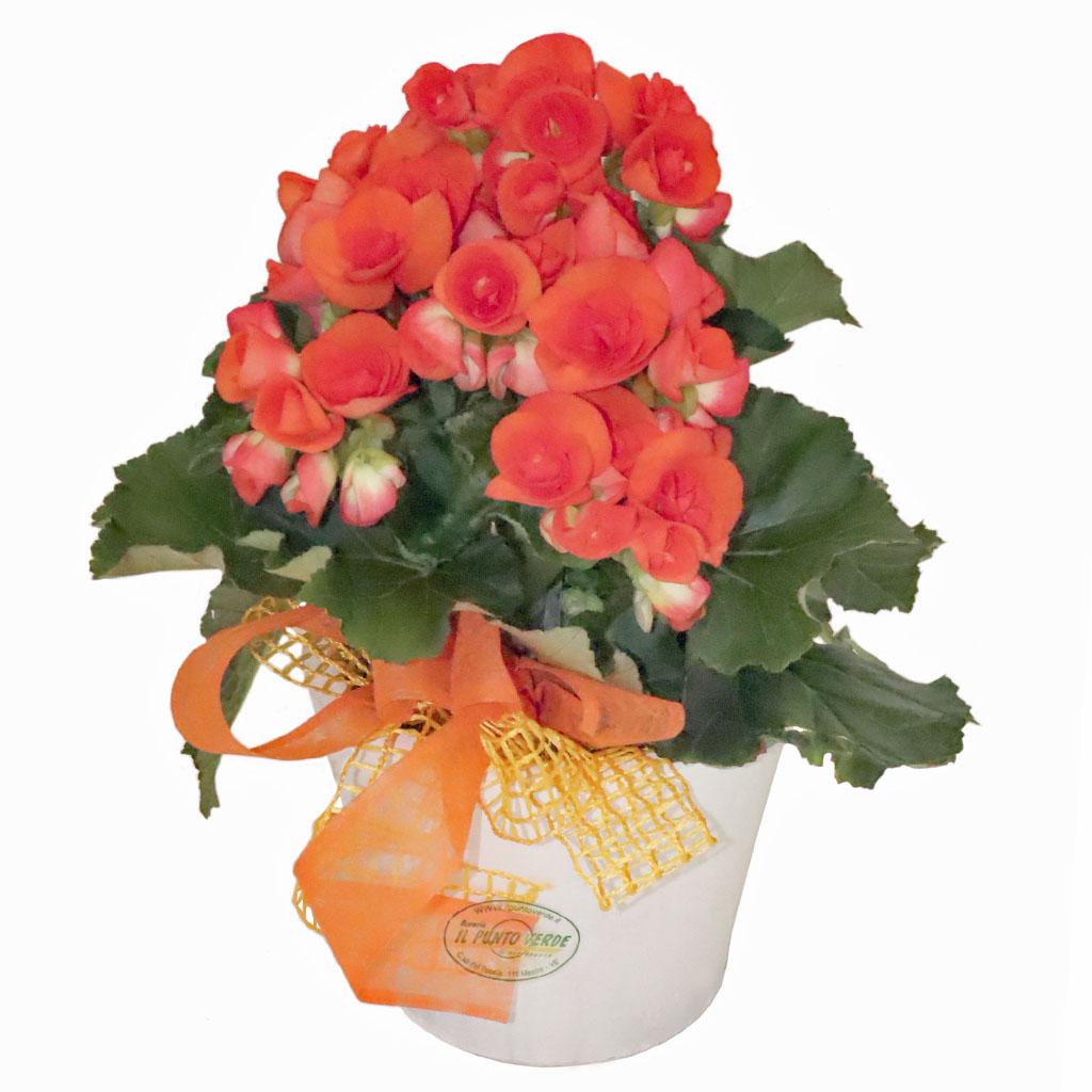 Begonia arancio