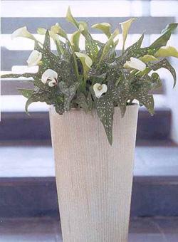 Zantedeschia aethiopica (calla bianca)