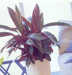 Stromanthe