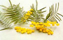 Acacia dealbata ( Mimosa)